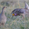 sharp-tailed grouse - female in front of a male dancing