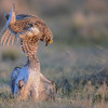 sharp-tailed grouse - male fighting