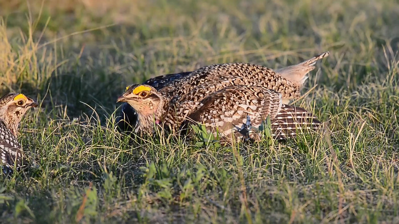 "Sharp-tailed Grouse doing what they do best at a LEK where the mating process goes on<br /> This video was taken with no tripod just resting on the sill of the opening.<br /> <br /> If you don't know what a LEK is you can go here for an explanation:<br /> <a href=""http://en.wikipedia.org/wiki/Lek_mating"">http://en.wikipedia.org/wiki/Lek_mating</a>"