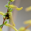 bumblebee - these shots were taken with 600mm lens at 19 feet...trying a macro is tuff