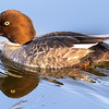 lesser scaup - female