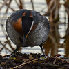 red-necked grebe settling in on the nest over the egg
