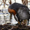 red-necked grebe - the egg is just in front of the right foot almost the same colour as the reeds