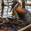 red-necked grebe climbing back on the nest. I can see one egg in the nest but I am sure there are more
