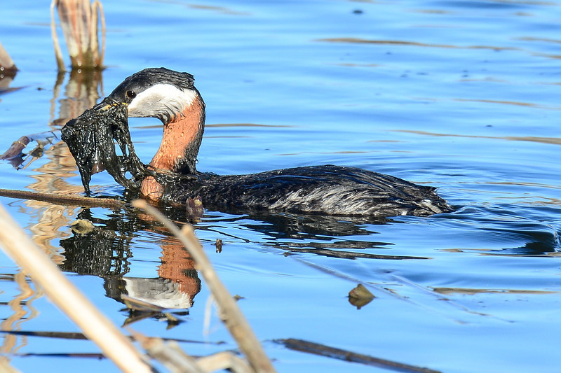 red-necked grebe repairing the nest