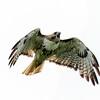 red-tailed hawk - still talking