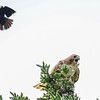 red-tailed hawk - being  harassed by  small  birds
