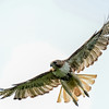 red-tailed hawk - heading for another encounter with the small birds