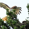 red-tailed hawk - the small birds would dip and dive at this hawk