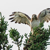 red-tailed hawk - another chase was on