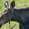 young moose #2 heading for a fence jump