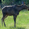 young moose #2