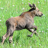 baby moose trying to keep up with mom