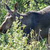 young moose #2 looing for a place to jump the fence