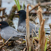 black terns, here is the helper