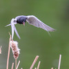 black tern, I have to practice catching them flying...they move very fast