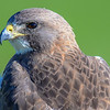 swainson's hawk, there were 2 sittting on fence posts looking for mice
