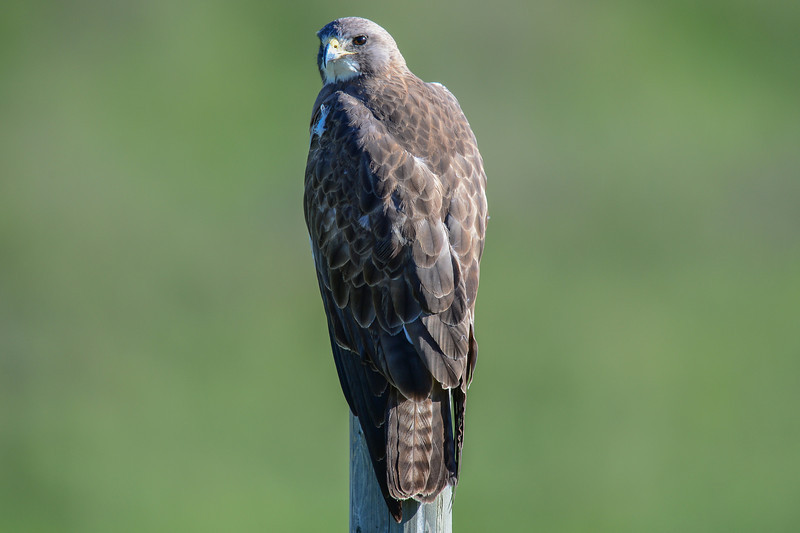 swainson's hawk looking for mice