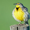 "it didn't seem to bother him as he stayed fluffed up and sang his heart out<br /> if you don't know what they sound like  go to this link and scroll down to where it says ""audio"" & listen:<br /> <a href=""http://animals.nationalgeographic.com/animals/birding/western-meadowlark/"">http://animals.nationalgeographic.com/animals/birding/western-meadowlark/</a>"