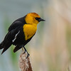 yellow-headed blackbird male