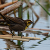 yellow-headed blackbird female heading for a bath
