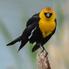 yellow-headed blackbird, male looking for a mate