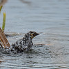 yellow-headed blackbird female, she sure put a lot of energy into this bath