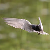 black tern...putting on the brakes