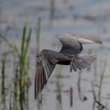 tried to take some pictures of  black terns feeding & flying...wow...they dipsy-doodle all over the place and they make quick turns....it was fun...and some good practice.  Takes some getting used to trying to follow  fast moving birds with a 600mm lens.  The camera and lens weight 15.5 lbs.  :)