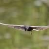 black tern...this is flat out