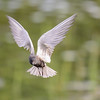 black tern...this one liked the camera..lol