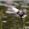 black tern....and they have some awesome moves