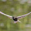 black tern...it even came around for a second look