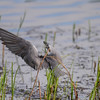 black tern...and then the dive