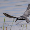 black tern...and success