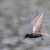 black tern..full speed ahead
