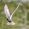 black tern...getting ready for the dive
