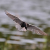 black tern....it looks like they are looking all the way to the bottom of the pond