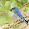 mountain bluebird food for the young