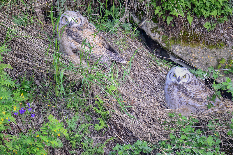 visited the GH Owl - Cave Nest to find the Owlets still in the area and flying stronger ...soon to leave the area