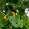 Baltimore Oriole having some lunch