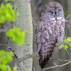 great gray owl...this was the second one and it was asleep....
