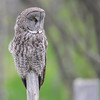 great gray owl..this is the first one we spotted....north of the Cochrane
