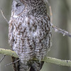great gray owl...asleep again and we it was still sleeping when we left