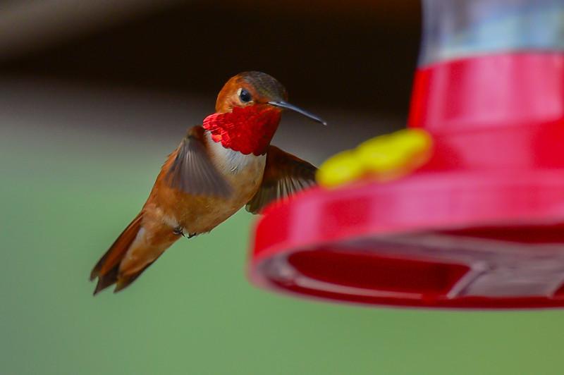 rufous hummingbird