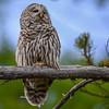 barred owl, looking snooty