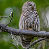 barred owl - you can see the heart shape ...just below the snag and to the left on its tail