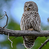 barred owl, it was having a hard time staying awake....I know there is a nest around so I will try to find it and photograph the babies soon