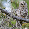 barred owl -  the second barred owl this year....must be my lucky year for barred owls