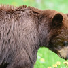 brown bear female